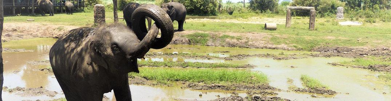Pourquoi faut-il fuir les balades à dos d'éléphant en Thaïlande?