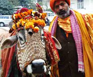 La vache sacrée en Inde, mère des Hindous