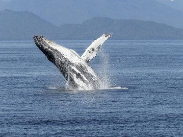 Le Costa-Rica : sanctuaire des baleines à bosses
