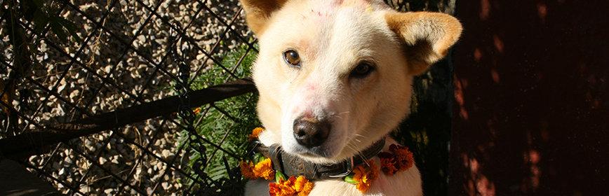 Kukur Tihar : les chiens népalais célébrés avec faste