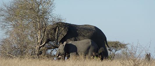 Éléphnate et son élaphanteau dans la réserve d'éléphants de Maputo, au Mozambique