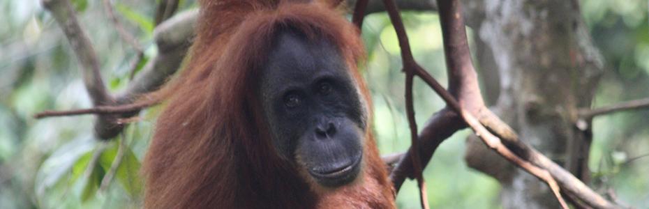 Sumatra abrite de nombreux orang-outang