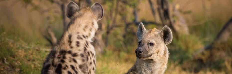 Hyènes en Namibie.