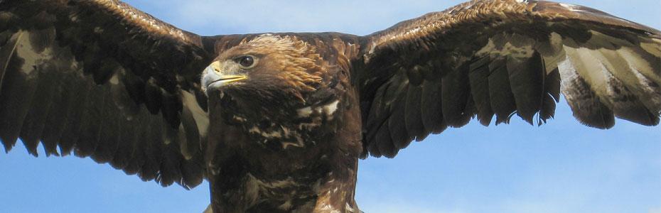 L'aigle, l'un des emblèmes de la Mongolie.