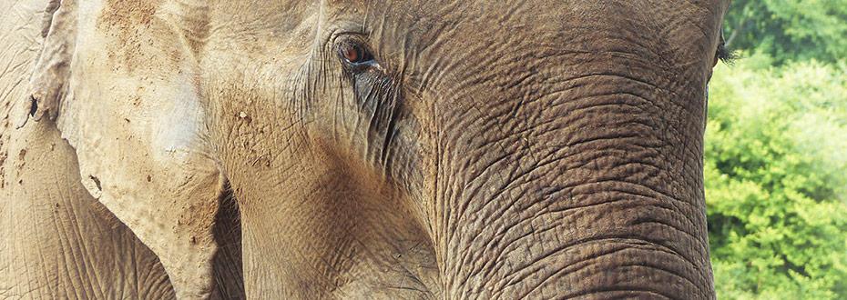 la condition des éléphants en thailande
