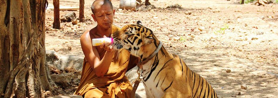 la vie des tigres dans les temples aux tigres