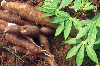 manioc plante racine amazonie heliconia amazonia turismo